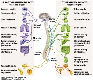 The Nervous System - Sympathetic & Parasympathetic Branches