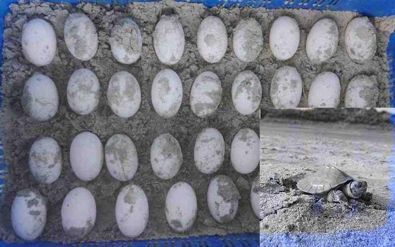 The Rare Batagur Baska Tortoise has Given 35 Eggs
