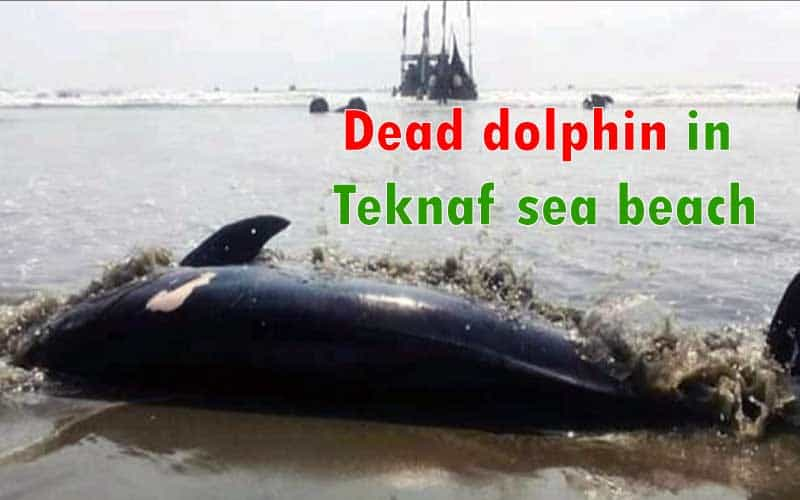 A dead gigantic dolphin was found floating on the Teknaf sea beach