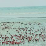 Red Crabs are Playing in groups on the beach in Kuakata, Bangladesh