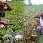 Seasonal vegetables and Fruits are rotting and destroying in the Fields