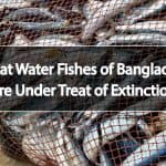 Sweat Water Fishes of Bangladesh Are Under Treat of Extinction