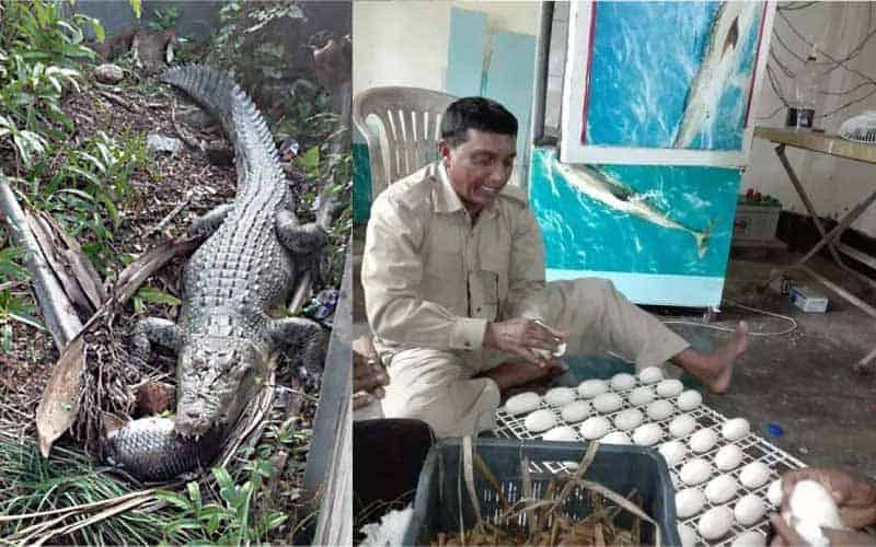 Crocodile Juliet lays 52 eggs at the Karmjal Wildlife Breeding Center, Bangladesh.