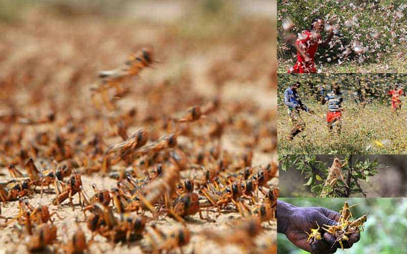 Locust Invasion Across India Panicked Agriculturists and the Government
