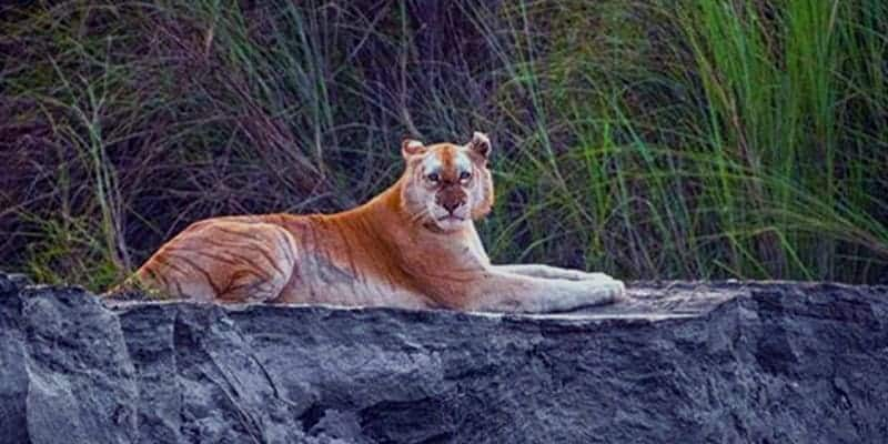 Only the Golden Tiger in the world live in Assam, India