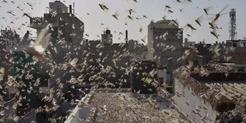 Swarms of Locusts reached northern India