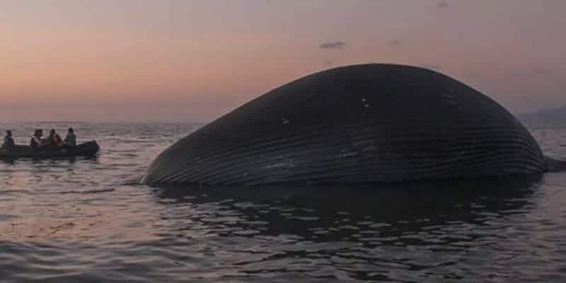giant blue whale carcass washes up on Indonesian beach