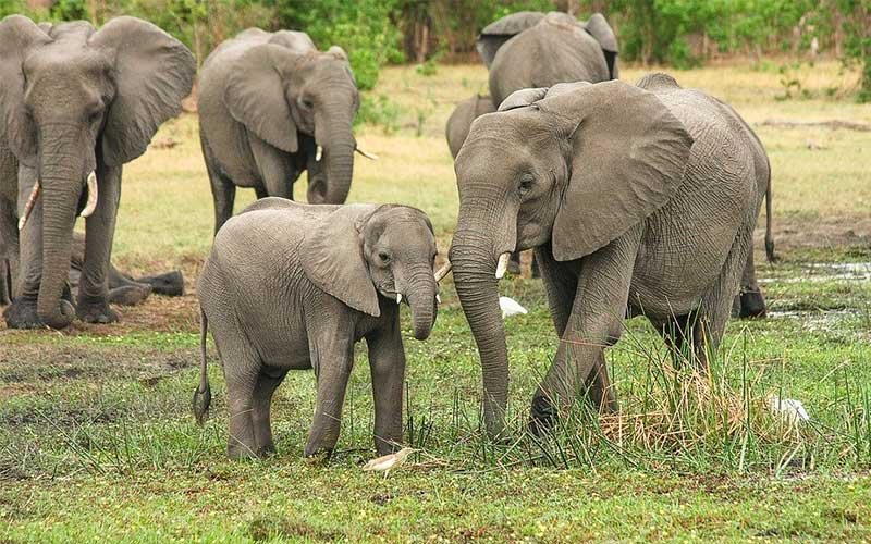 Elephants are declining in the Bangladeshi Hilly areas.