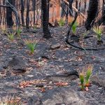 The Australian burned forests are returning to life; the animals are also coming back
