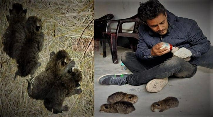 Four fishing cat cubs rescued in Kamarkhand, Sirajganj