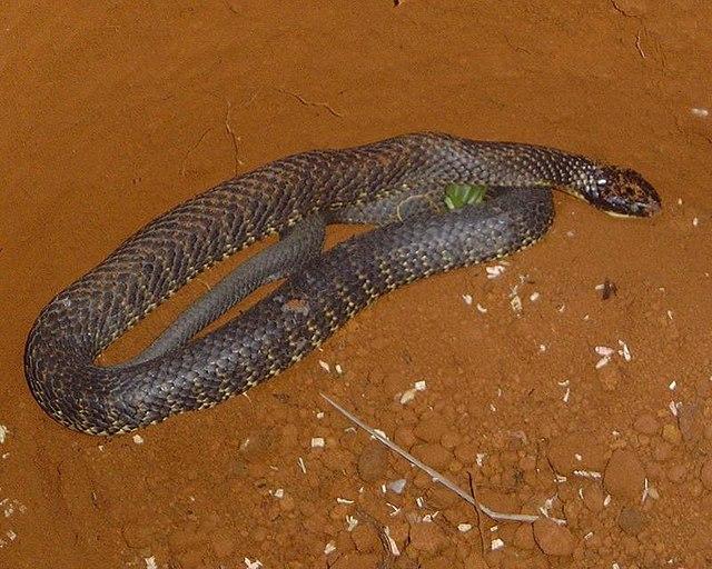 मुख्यभूमि टाइगर सांप Mainland Tiger snake.