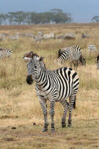ज़ीब्रा Zebra