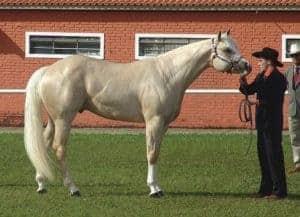 अमेरिकन क्वार्टर हॉर्स American Quarter Horse