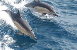 कॉमन डॉल्फिन Common dolphin