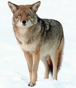 कायोटी Coyote