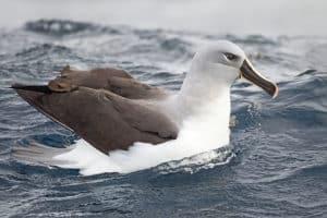 ग्रे-हेडेड अल्बाट्रॉस Grey-headed albatross