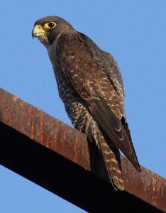 पेरेग्रीन बाज़ Peregrine falcon
