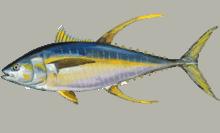 येलोफिन ट्यूना Yellowfin tuna