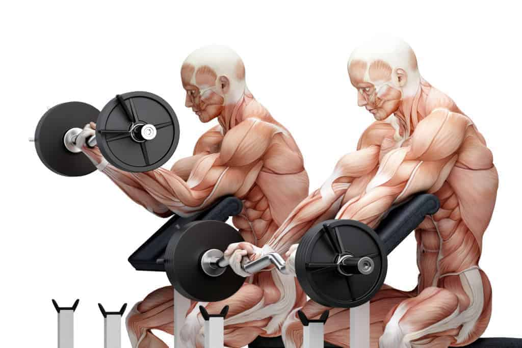 picture of the anatomy of a male bodybuilder doing preacher curls with a curl bar