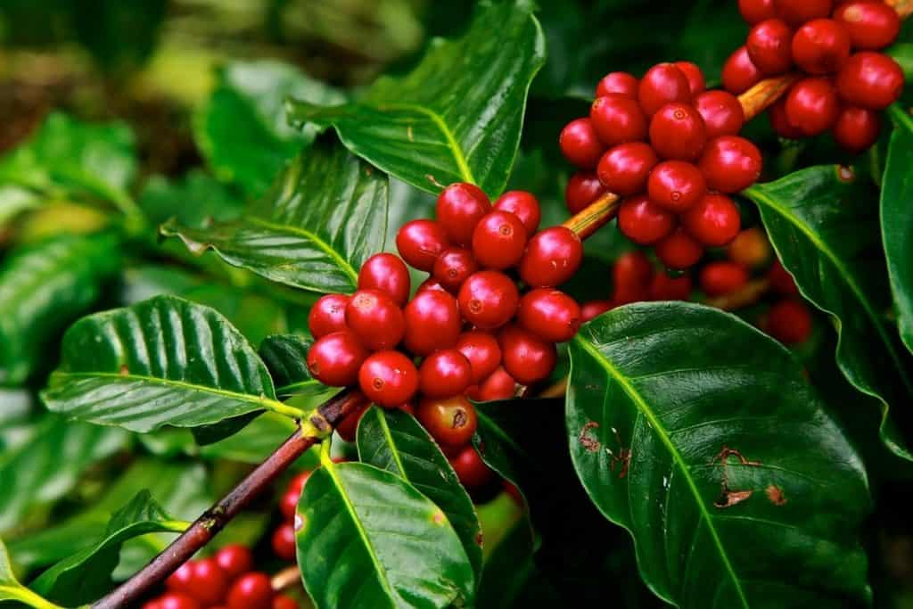 picture of a coffee plant with coffee beans ready to be picked and made into coffee anhydrous or dicaffeine malate