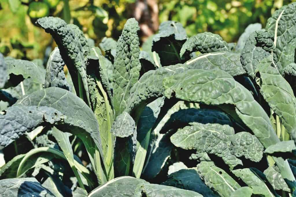 Kale growing in a field to be used as a thermogenic food to raise your metabolism