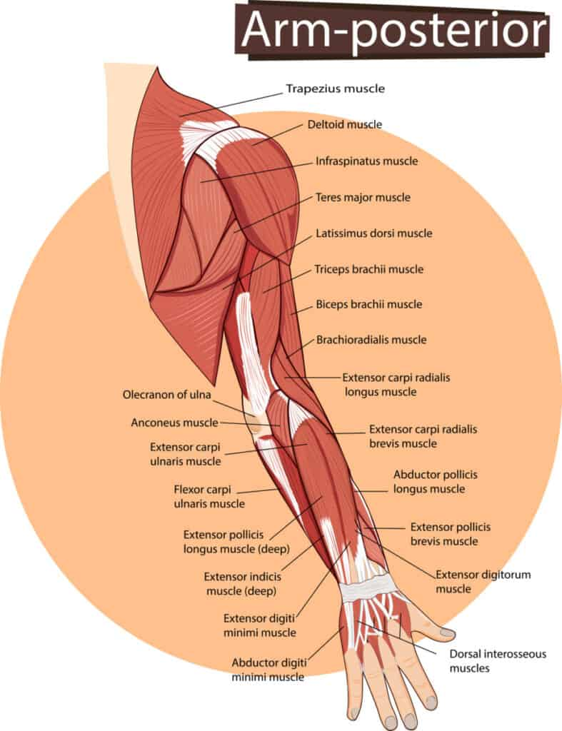 The anatomy of the biceps, and triceps muscles