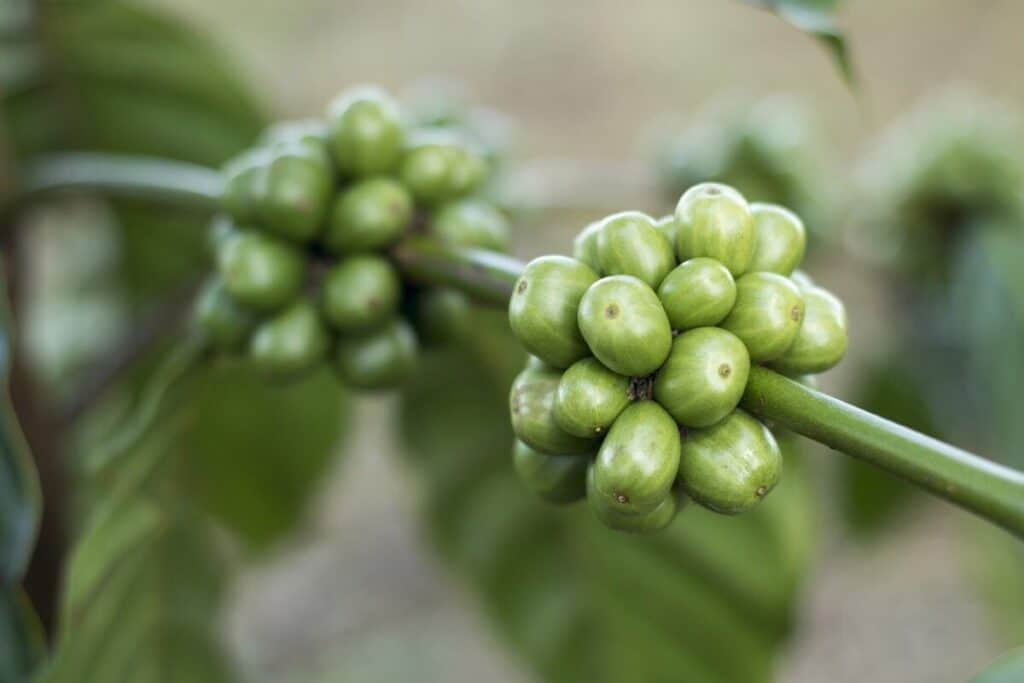 Green coffee extract on the vine on a farm being sourced as an ingredient in fat burners