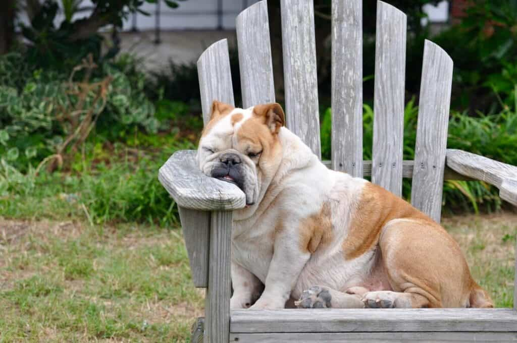 picture of a dog sleeping as an analogy to being fatigued from a vitamin deficiency