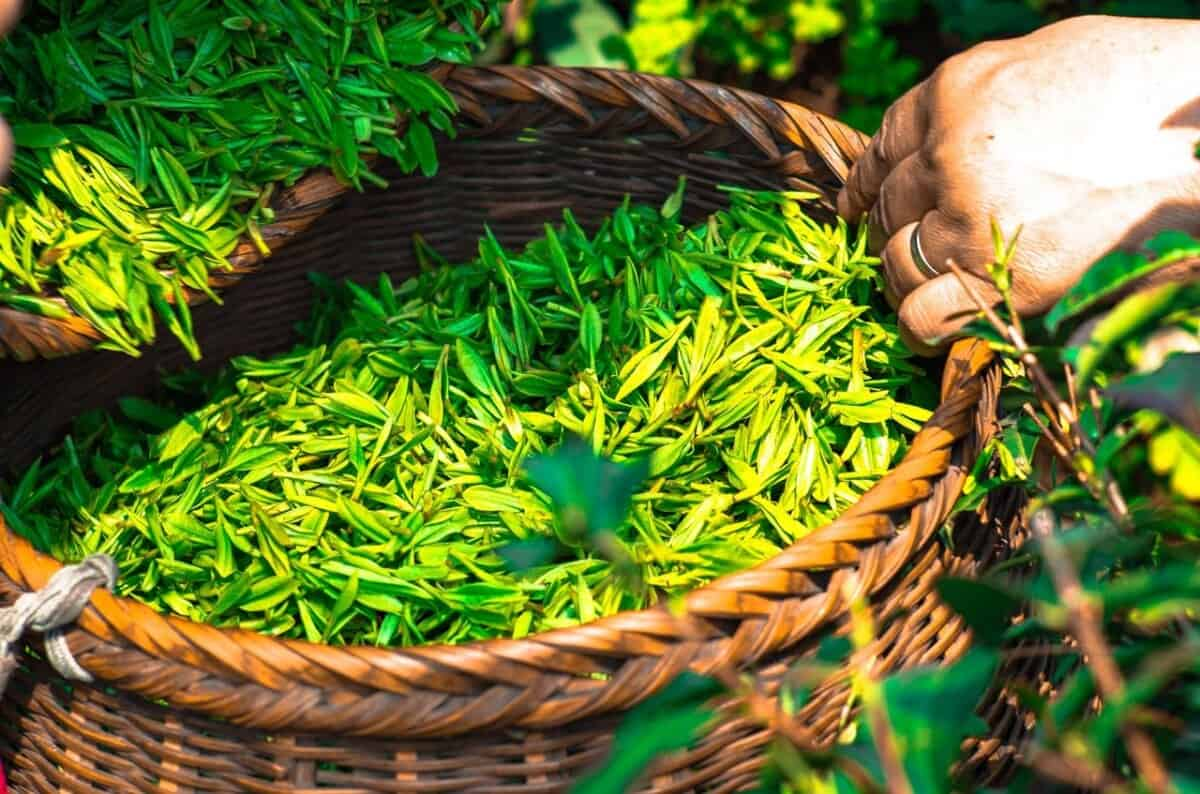 green tea leaf as an ingredient in trimtone a natural fat burner
