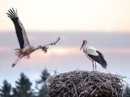 les cigognes du parc ornithologique de Bordeaux