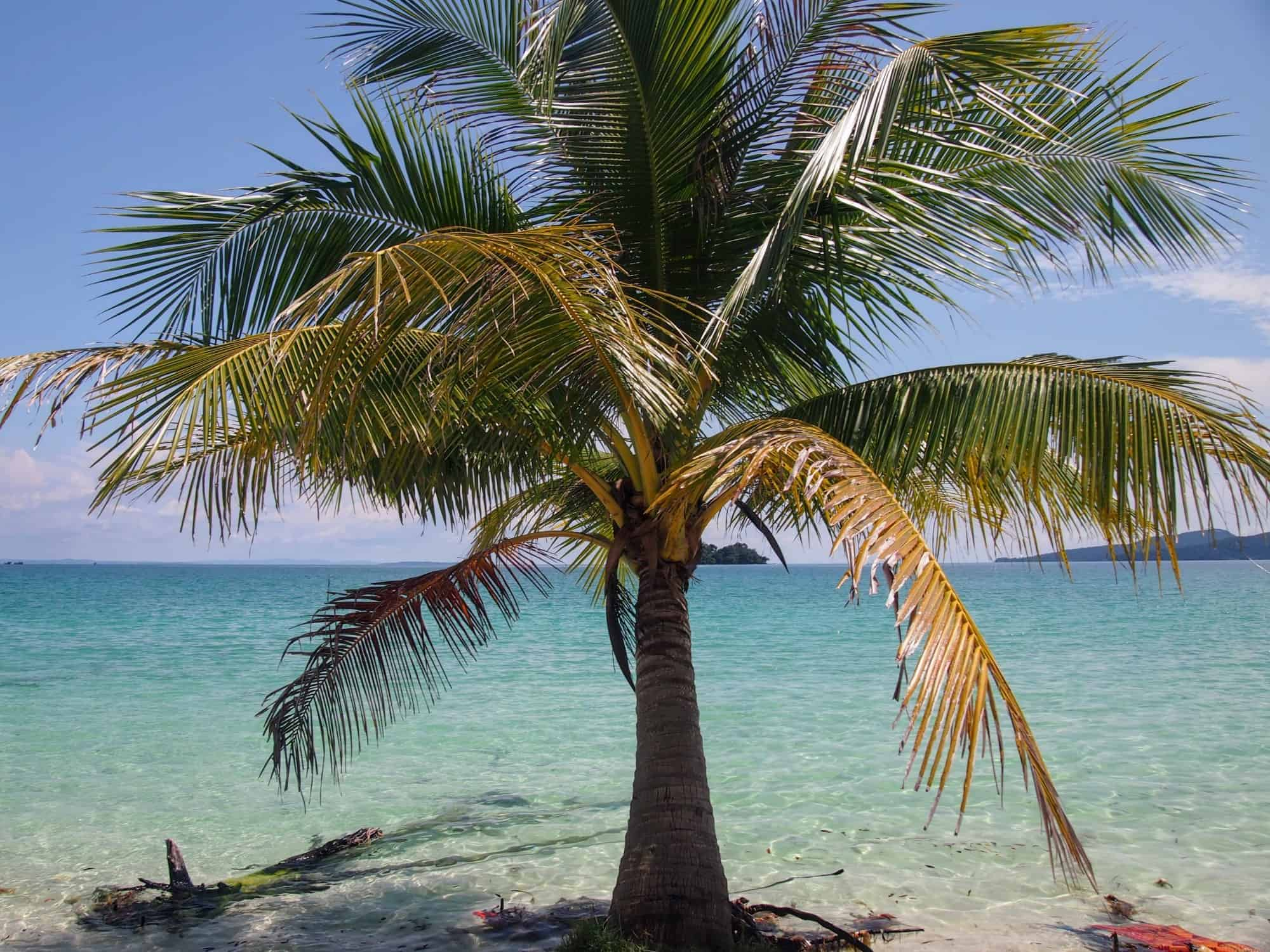 Solo palm tree, Koh Rong