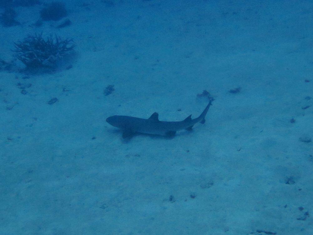 Reef shark - Great Barrier Reef