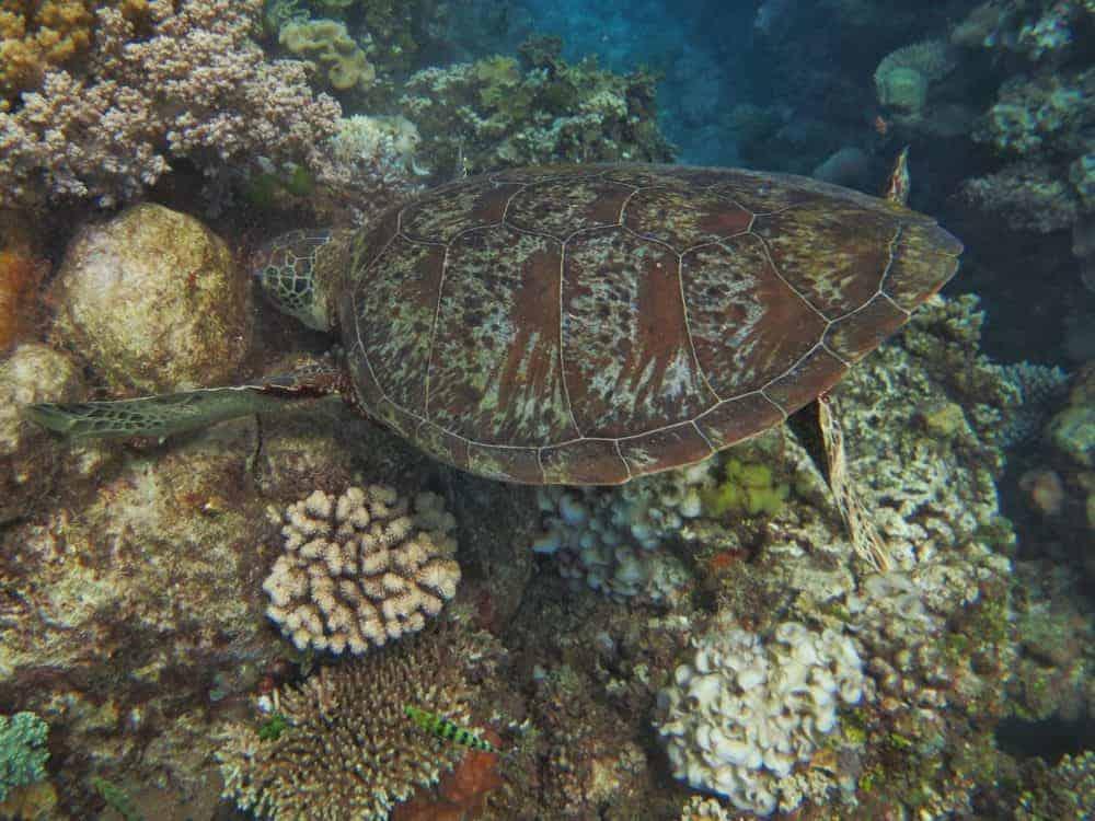 Turtle on Great Barrier Reef