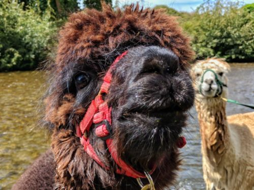 Alpacas beside river - closeup