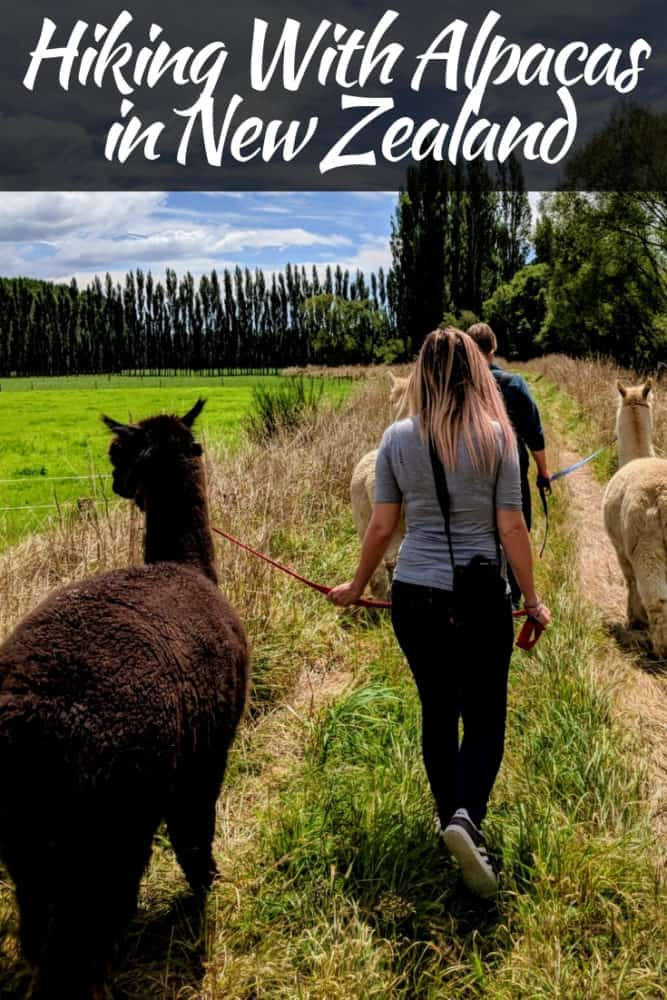 Hiking With Alpacas in New Zealand