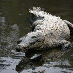 American crocodile in water