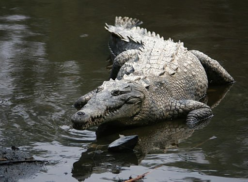 American crocodile in water