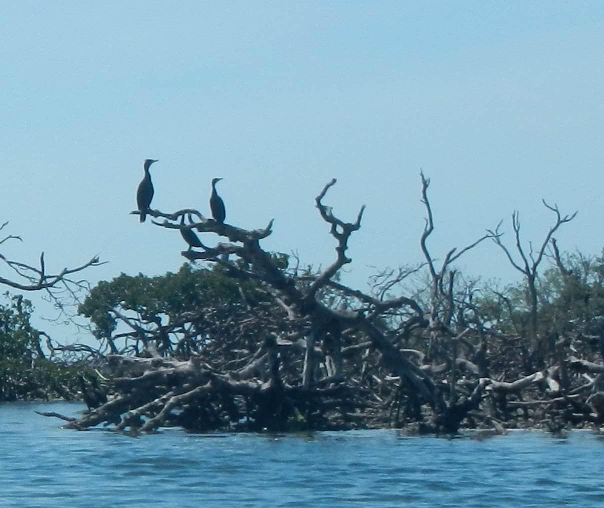 cormorants in mangrove