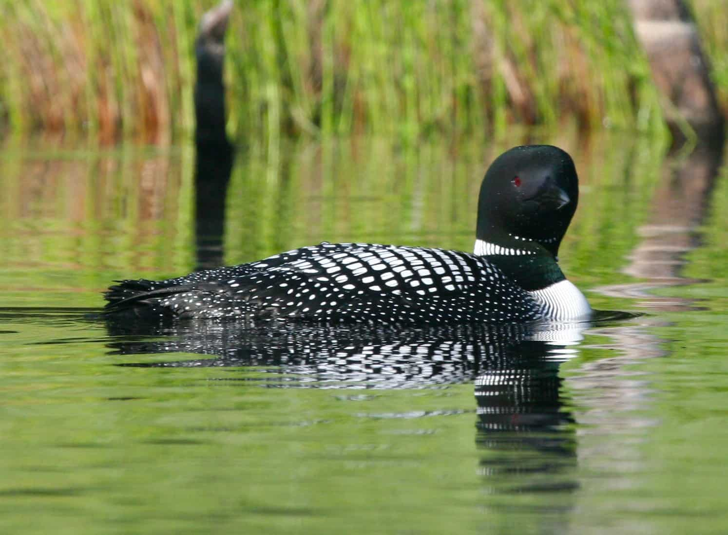 Loon swimming