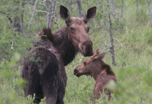 Moose have more specific habit needs than gray squirrels.