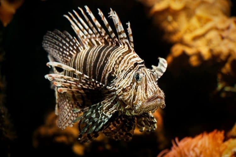 lionfish-610769_1920