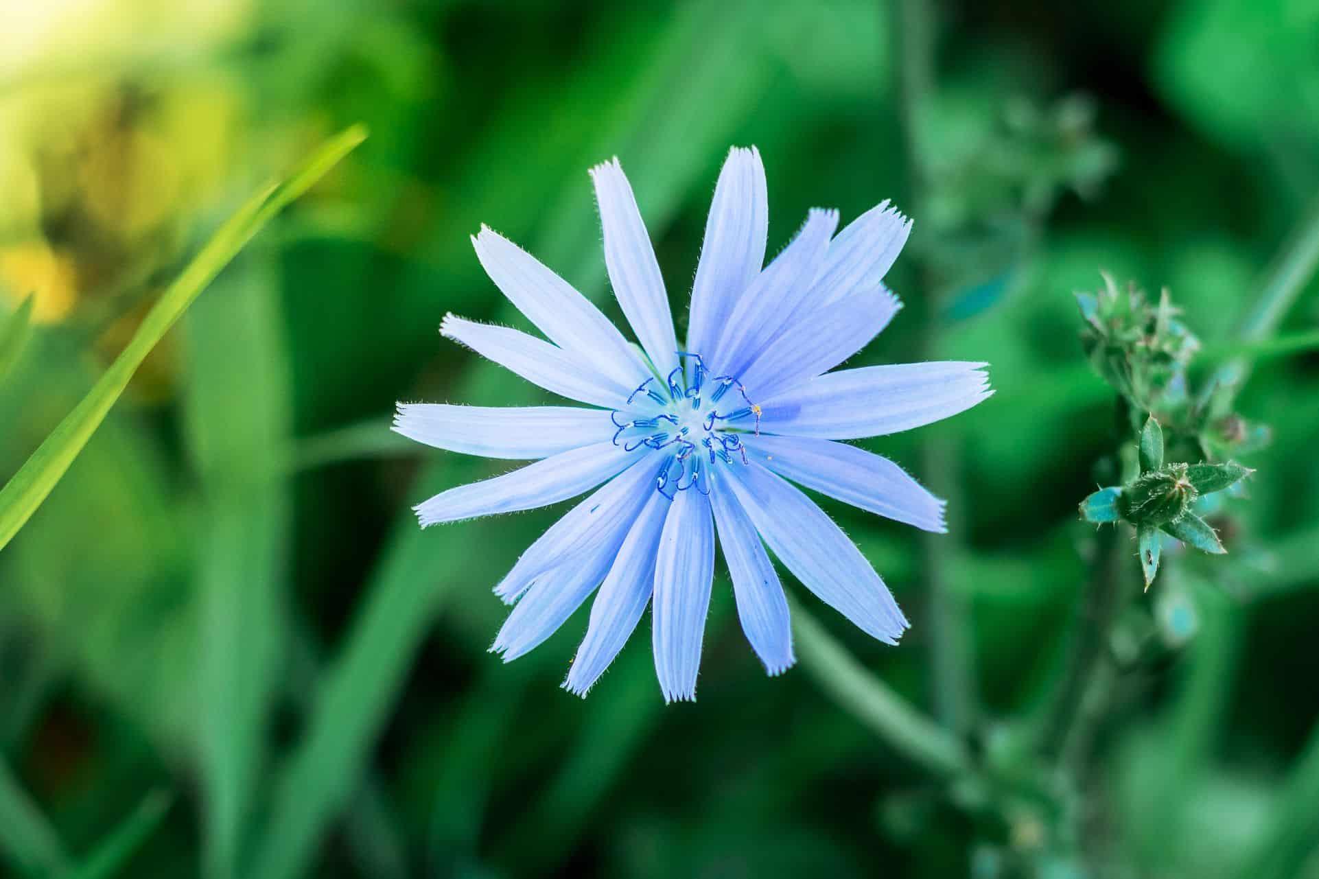 Usages des Fleurs de Bach : la chicorée sauvage