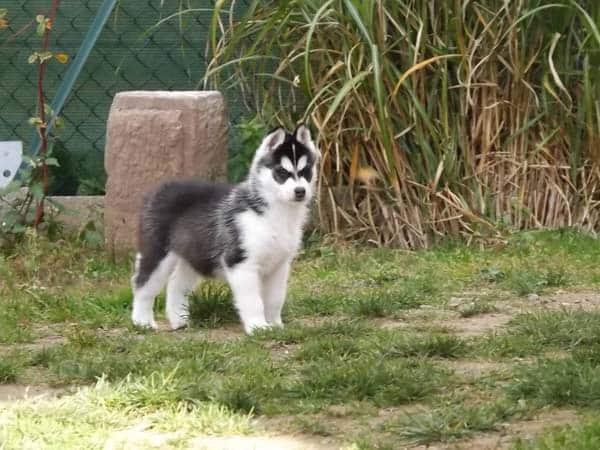 husky siberie chiot