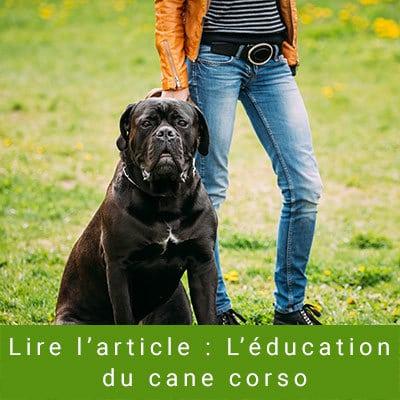 l'éducation du cane corso