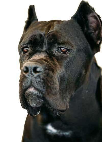 tête d'un cane corso