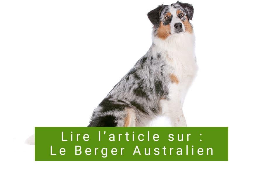La race de chien berger australien