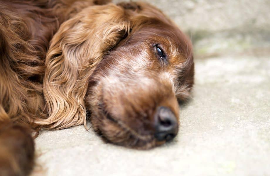 vieux chien qui a la diarrhée