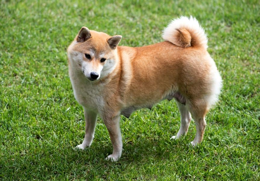 chienne shiba inu grossesse nerveuse