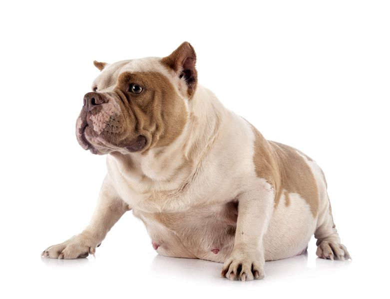 Chienne american bully qui fait une grossesse nerveuse