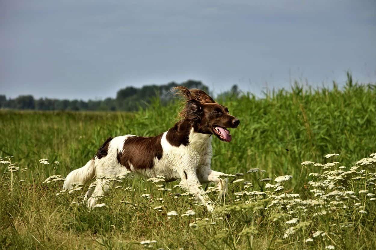 La meilleure alimentation pour un chien de chasse